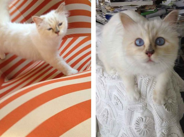 choupette 3 610x457 Zlá cica, Choupette Lagerfeld, útočí