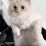 22052019 StajlSK Choupettee Lagerfeld 05 150x150 Štýlový život mačky Choupette Lagerfeld.